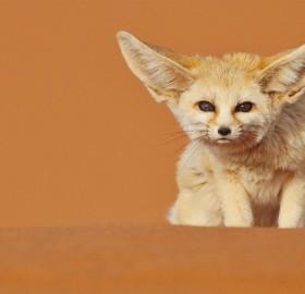 fennec fox in deserts of morocco