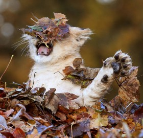 lion cub playing in autumn leaves