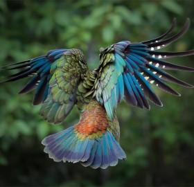 majestic kea in flight, new zealand