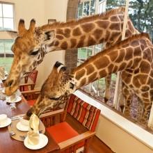 sharing breakfast with giraffes