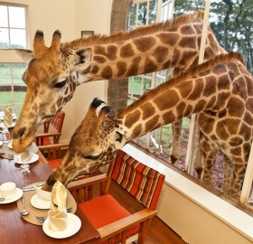 sharing breakfast with giraffes