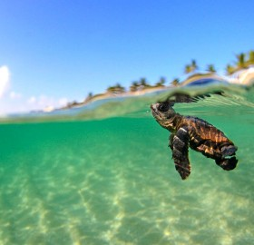 tiny turtle swimming in the ocean, florida