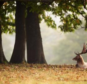 deer under the chestnut tree
