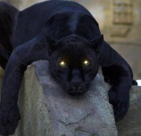 resting black panther