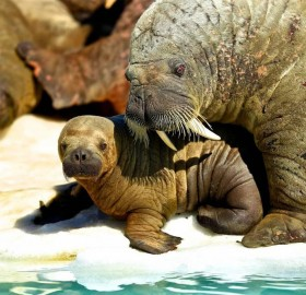 walrus and his baby