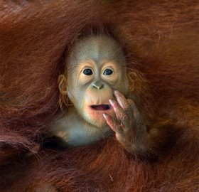 what are you staring at? baby orangutan