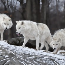 white wolf pack