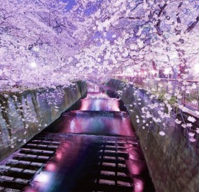 amazing cherry blossoms in tokyo