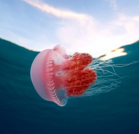 pink jellyfish in the philippines