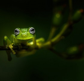 small glass frog