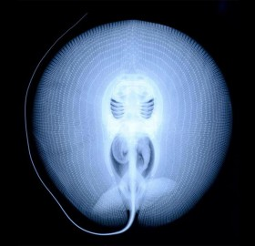 x-ray of a stingray