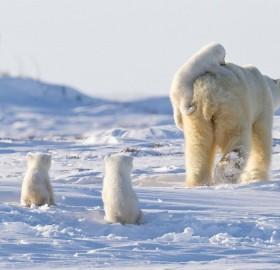 a happy family of polar bears