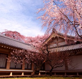 cherry blossoms kyoto, japan