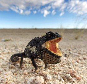 namaqua chameleon, namib desert