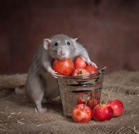 rat caught in act