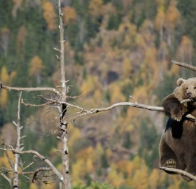 bear hanging out on a tree