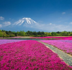 fields of flowers bellow mount fuji