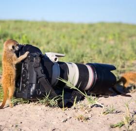 meerkat takes photo
