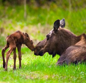 moose cow and calf, alaska