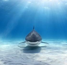 tiger shark swimming at you