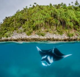 baby manta rays, indonesia