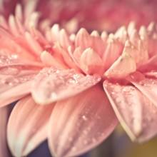 close-Up shot of a gerbera flower