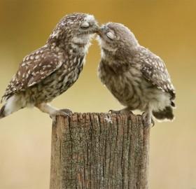owl kiss