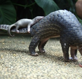 pangolin carries her baby, indonesia