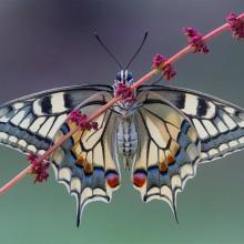 butterfly wing symmetry