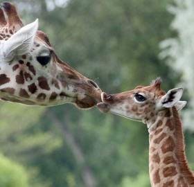 nine-Day-Old giraffe with her mom