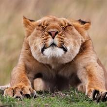 stretching lion
