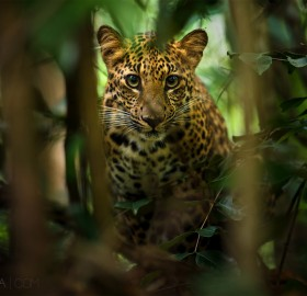 beautiful leopard of thailand rainforest