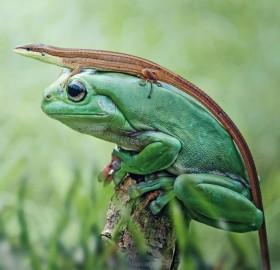 frog wearing a lizard