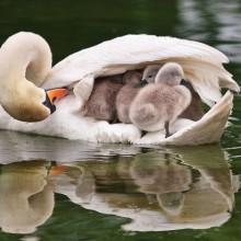 mother swan transport her babies