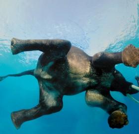 elephant swimming underwater