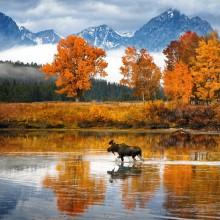 moose walks the river, wyoming