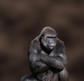 not so happy gorilla