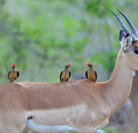 red-Billed birds on an impala, south africa