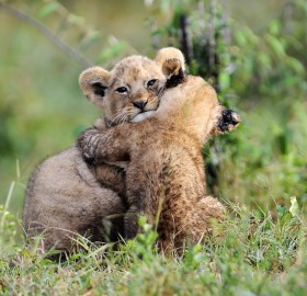 adorable lion cubs hug