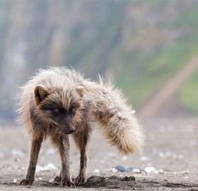 dusty fox
