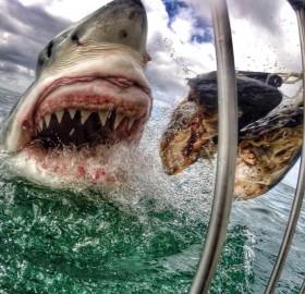 intense shark bait