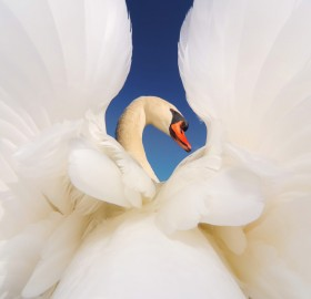 magnificent male swan