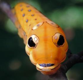 orange spicebush swallowtail caterpillar