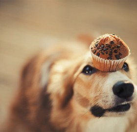 dog holds muffin on his head