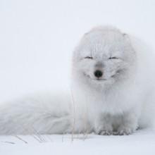 An Arctic Fox Enjoying Cold Weather