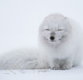 An Arctic Fox Enjoying Cold Weather