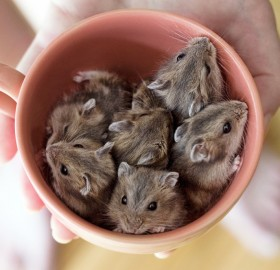 Cup Full of Hamsters