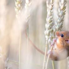 Cute Harvest Mouse