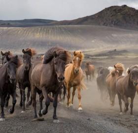 Horses in Wild, Iceland