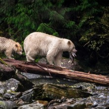 Mother And The Cub of Rare Spirit Bears